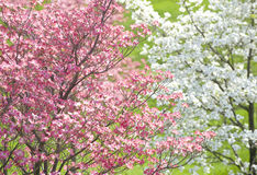 Easter Dogwood Blossoms Stock Image