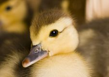 Easter duck Royalty Free Stock Photos