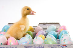 Easter Duck With Confetti Eggs royalty free stock photo