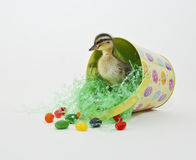 Easter Duckling Stock Image