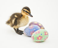 Easter Duckling Royalty Free Stock Photos