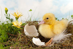 Easter duckling Stock Photography