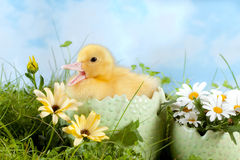 Easter Duckling calling Royalty Free Stock Photography