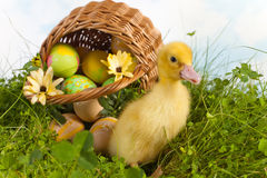 Easter duckling in the garden Stock Photography