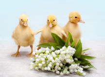 Easter ducklings Stock Photos