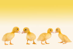 Easter ducklings border. Border frame image with four newborn easter ducklings Royalty Free Stock Images