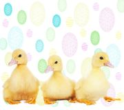 Easter ducklings Royalty Free Stock Photos
