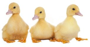 Easter ducklings in a row Stock Photography