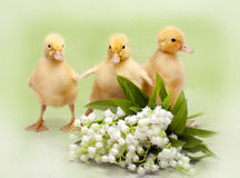 Easter ducklings Stock Image