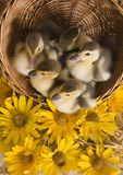 Easter ducks Royalty Free Stock Photo