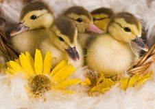 Free Easter Ducks Stock Photography - 2057852