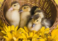 Easter ducks Royalty Free Stock Photos