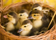 Easter ducks stock photography