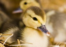 Easter ducks Royalty Free Stock Image