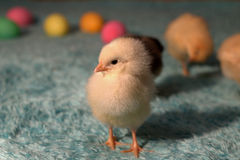 Easter egg chicks. Colorful easter eggs and a chick Stock Photo