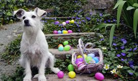 The Easter Egg Security Guard. White dog with big ears sitting next to easter eggs which are spilled all over wooden stairs outside and surrounded by white and Royalty Free Stock Photo