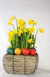 Easter eggs. Easter baskelt with colored eggs and dafodils Royalty Free Stock Image