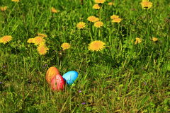 Easter eggs. Hidden in green grass with flowering dandelions Royalty Free Stock Image