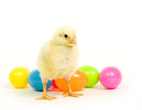 Easter eggs and baby chicken Stock Image