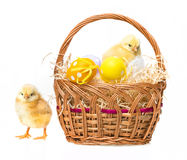 Easter eggs and chickens in a basket Royalty Free Stock Image