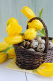 Easter eggs in the basket and yellow tulips on painted background Stock Images