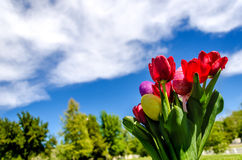 Easter eggs and bright red tulips on the grass background Stock Photo