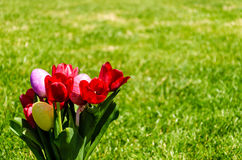Easter eggs and bright red tulips on the grass background Stock Images