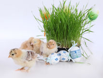 Easter eggs and chick. Cute little chicks and easter eggs Royalty Free Stock Photo