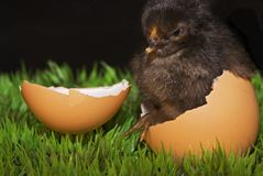Easter eggs and chicken. One cute newborn chick with its egg Royalty Free Stock Photography