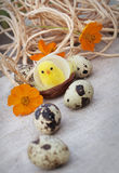 Easter eggs and chicken on canvas Royalty Free Stock Images