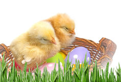 easter eggs and chickens Royalty Free Stock Photography