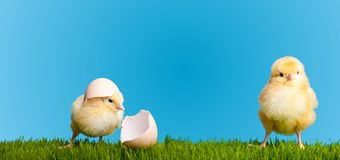 Easter eggs and chickens on green grass Royalty Free Stock Images