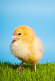 Easter eggs and chickens on green grass and blue Royalty Free Stock Photography