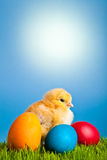 Easter eggs and chickens on green grass and blue Royalty Free Stock Photo