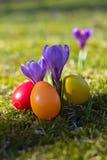 Easter eggs with crocus in springtime Stock Photos