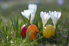 Easter eggs with crocus in springtime Stock Image