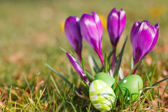 Easter eggs  and crocuses outdoor Royalty Free Stock Photos