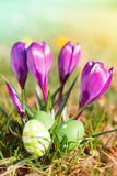 Easter eggs  and crocuses outdoor Stock Images