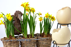Easter eggs and daffodils. On white background royalty free stock photo