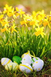 Easter eggs and daffodils outdoor Royalty Free Stock Images