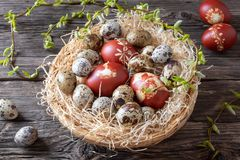 Easter eggs dyed with onion peels and quail eggs in a basket. Quail and Easter eggs dyed with onion peels with a pattern of herbs in a basket, with young willow stock photography