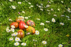 Easter eggs on a field of fresh grass and daisies in a sunny spring day. stock image