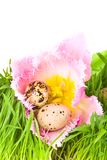 Easter eggs in flower of tulip Stock Photos