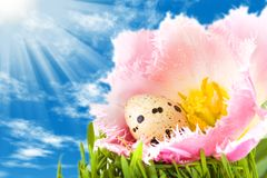 Easter eggs in flower of tulip Stock Photography
