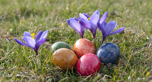 Easter eggs and flowers. Closeup of colorful decorated Easter eggs with crocus flowers outdoors Royalty Free Stock Photo