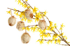 Easter eggs on forsythia branches Royalty Free Stock Photography