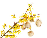 Easter eggs on forsythia branches Royalty Free Stock Photo