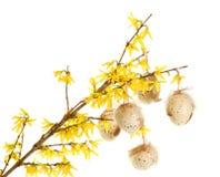 Easter eggs on forsythia branches. On white Royalty Free Stock Photo