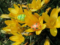 Easter eggs in front of crocuses Stock Photography