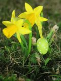 Easter eggs in front of crocuses Royalty Free Stock Image